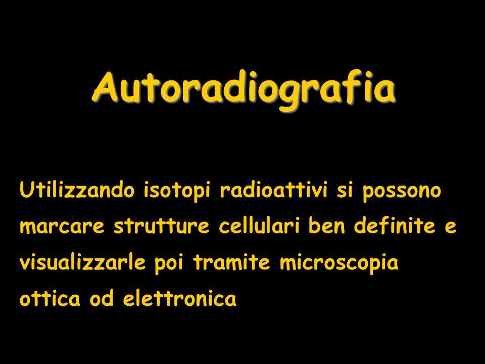 Autoradiografia Utilizzando isotopi radioattivi si possono marcare strutture cellulari ben definite e visualizzarle poi tramite microscopia ottica od