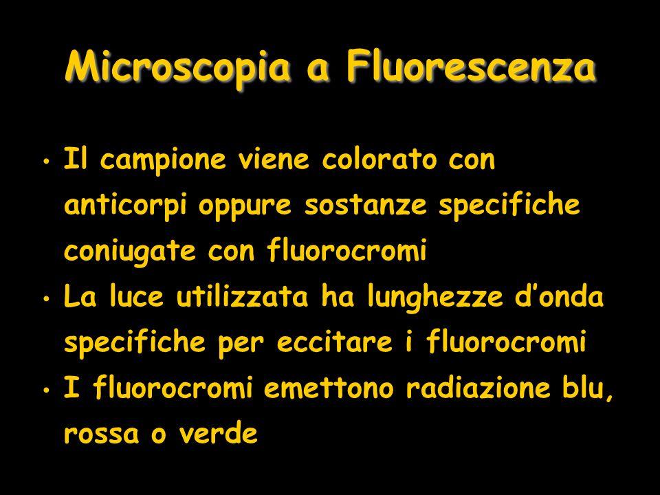 Microscopia a Fluorescenza Il campione viene colorato con anticorpi oppure sostanze specifiche coniugate con fluorocromi La luce utilizzata ha lunghez