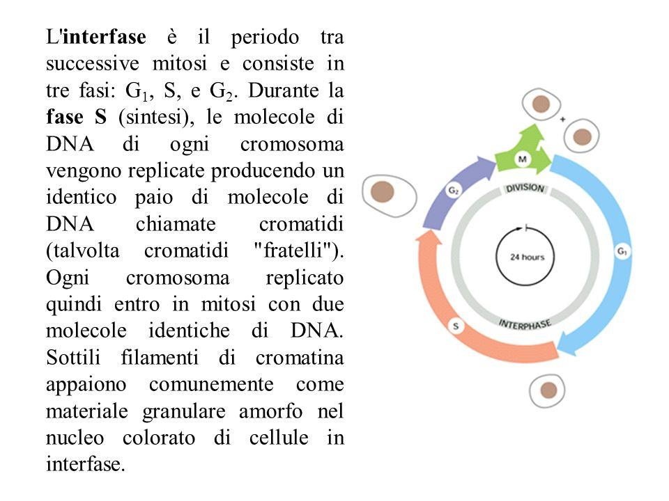 L'interfase è il periodo tra successive mitosi e consiste in tre fasi: G 1, S, e G 2. Durante la fase S (sintesi), le molecole di DNA di ogni cromosom