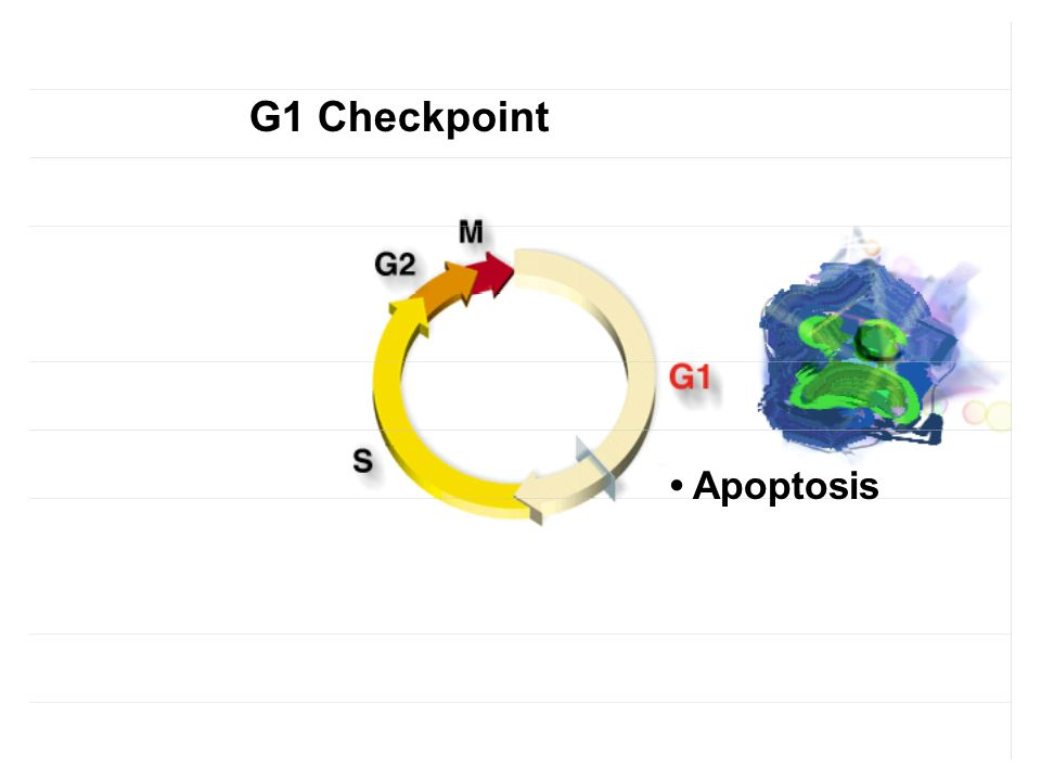 Apoptosis G1 Checkpoint