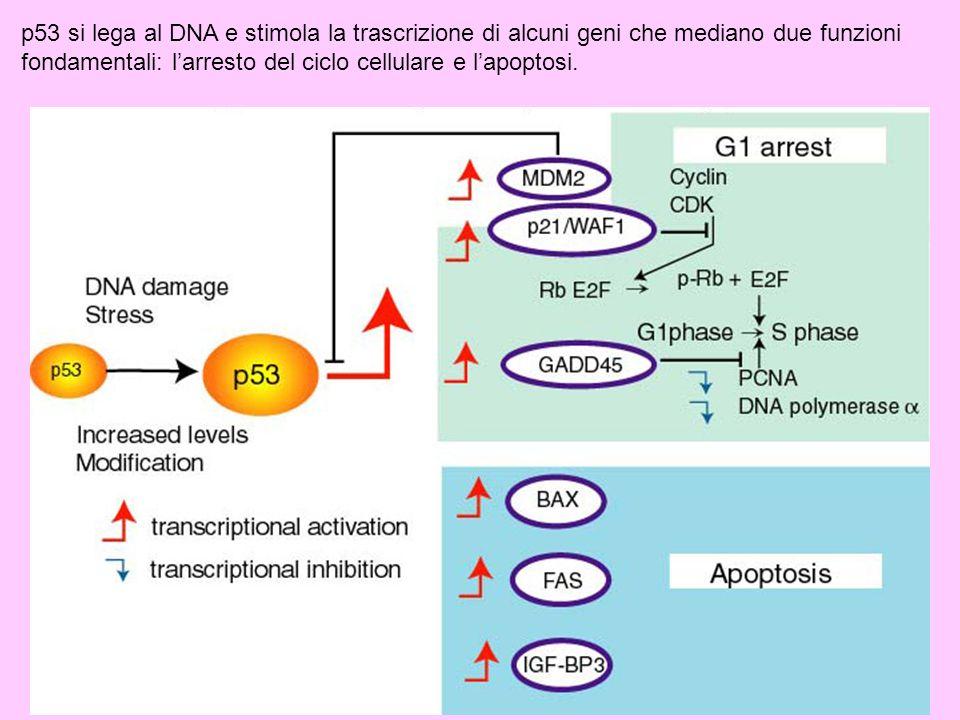 p53 si lega al DNA e stimola la trascrizione di alcuni geni che mediano due funzioni fondamentali: larresto del ciclo cellulare e lapoptosi.