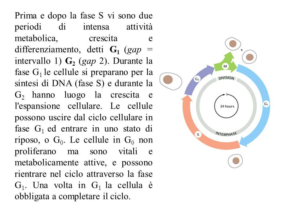 Prima e dopo la fase S vi sono due periodi di intensa attività metabolica, crescita e differenziamento, detti G 1 (gap = intervallo 1) G 2 (gap 2). Du