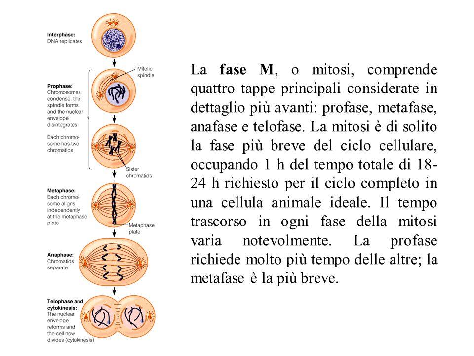 La fase M, o mitosi, comprende quattro tappe principali considerate in dettaglio più avanti: profase, metafase, anafase e telofase. La mitosi è di sol