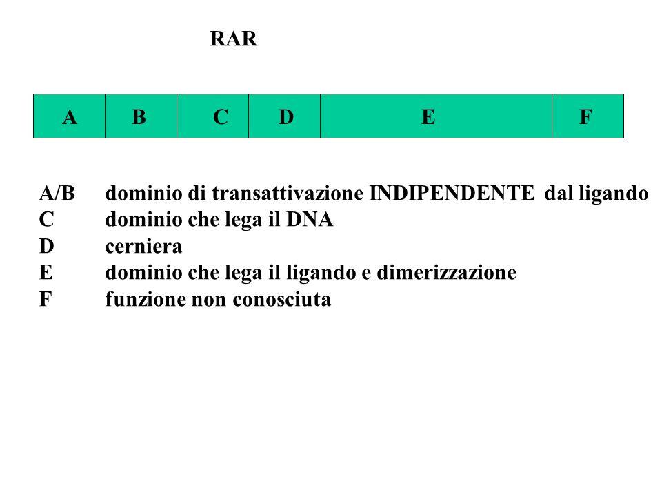 RAR A B C D E F A/Bdominio di transattivazione INDIPENDENTE dal ligando Cdominio che lega il DNA Dcerniera Edominio che lega il ligando e dimerizzazio