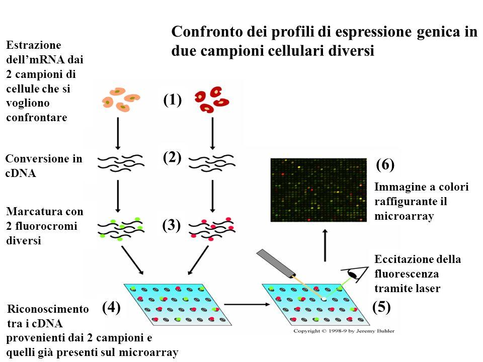 Estrazione dellmRNA dai 2 campioni di cellule che si vogliono confrontare Conversione in cDNA Marcatura con 2 fluorocromi diversi Riconoscimento tra i