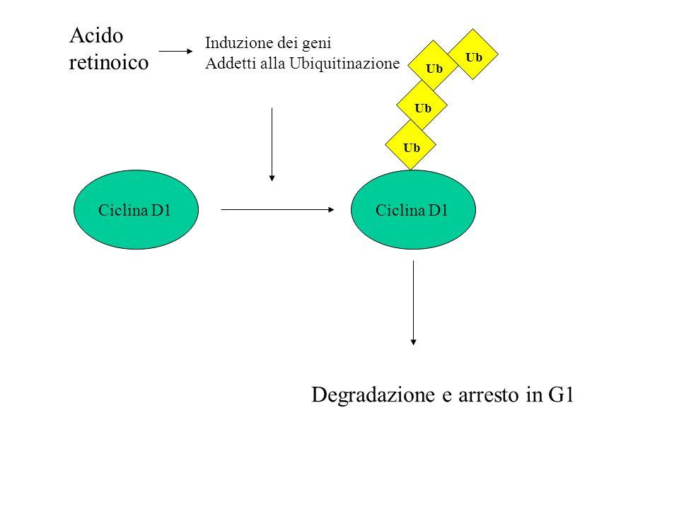 Ciclina D1 Ub Acido retinoico Degradazione e arresto in G1 Induzione dei geni Addetti alla Ubiquitinazione