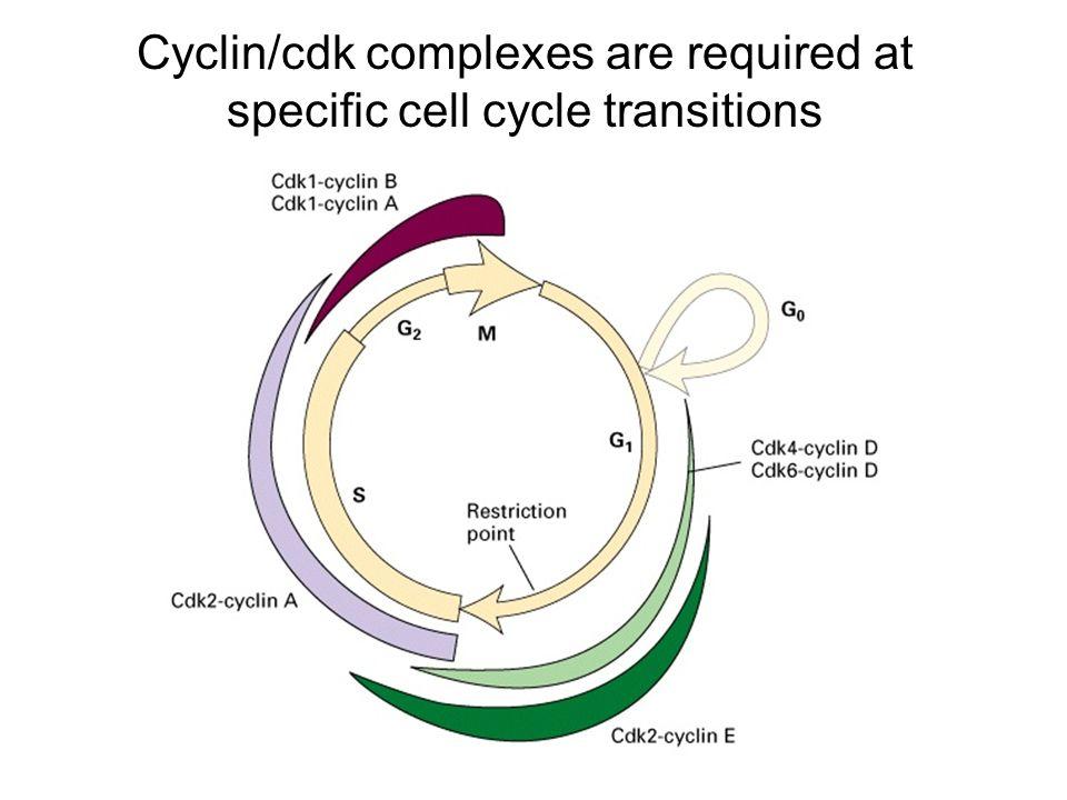 G 1 cyclins segnalano alla cellula di preparare i cromosomi per la replicazione S-phase promoting factor (SPF) preparano la cellula a entrare in fase S e duplicare il DNA * durante la sintesi di DNA la ciclina E si degrada e compaiono le cicline di fase M (mitotiche) M-phase promoting factor (MPF) inizia: - Lassemblaggio del fuso mitotico - Dissolvimento dellinvolucro nucleare - Condensazionedei cromosomi Inizia la metafase A questo punto MPF attiva il copmesso APC (Anaphase Promoting Complex)che permette: 1) la separazione dei cromatidi fratelli e la migrazione ai poli 2) la degradazione delle cicline mitotiche (M-phase) 3) avvia la sintesi delle cicline della fase G1per il ciclo successivo 4) degradazione della geminina, una proteina che blocca la replicazione pre-mitotica del DNA sintetizzato in fase S., E B A