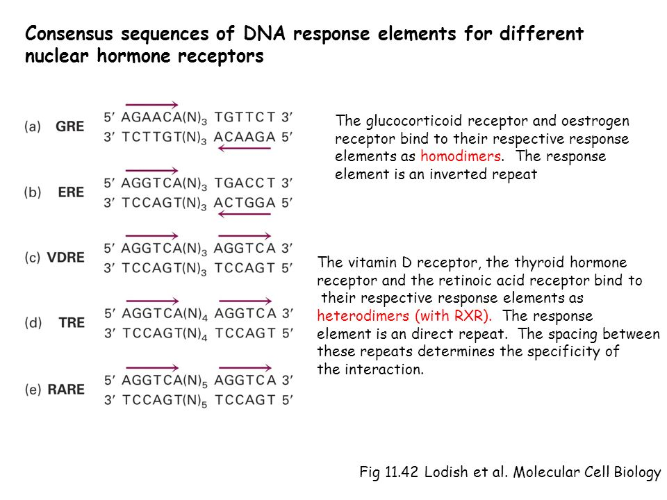Consensus sequences of DNA response elements for different nuclear hormone receptors Fig 11.42 Lodish et al. Molecular Cell Biology The glucocorticoid