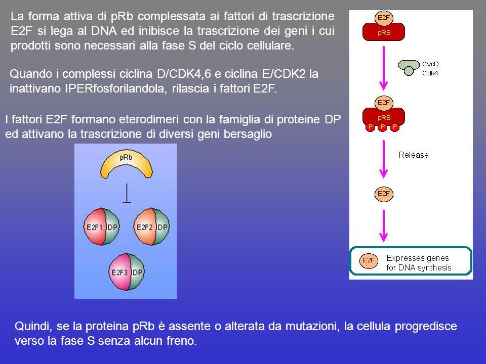 La forma attiva di pRb complessata ai fattori di trascrizione E2F si lega al DNA ed inibisce la trascrizione dei geni i cui prodotti sono necessari al