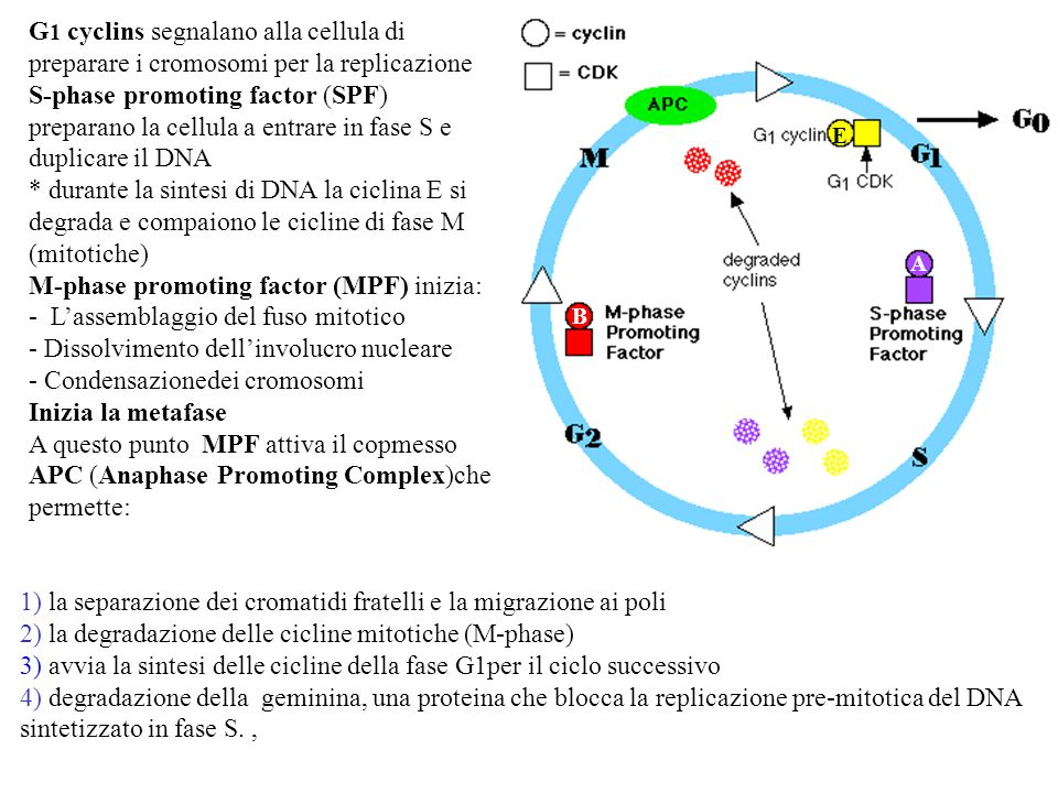 Nuclear Hormone Receptor- Ligand Complex Action 2 DNA Response Element TATA Box RNA polymerase II or pol II complex actually transcribes, starting at TATA box DNA site NH – receptor Ligand Bound L NH – receptor Ligand Bound L Recruitment of Coactivators is Necessary They are an Obligate Bridge to Pol II complex* * Receptor-ligand can bind DNA and NOT recruit pol II = Antagonist