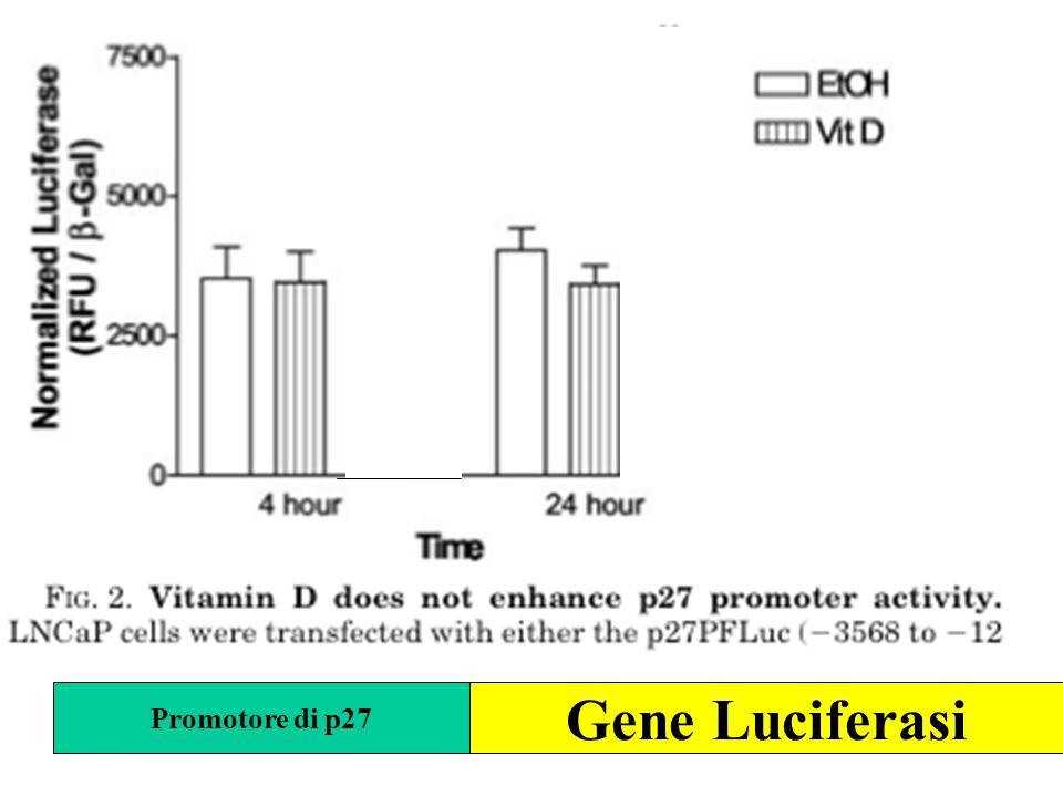 Promotore di p27 Gene Luciferasi