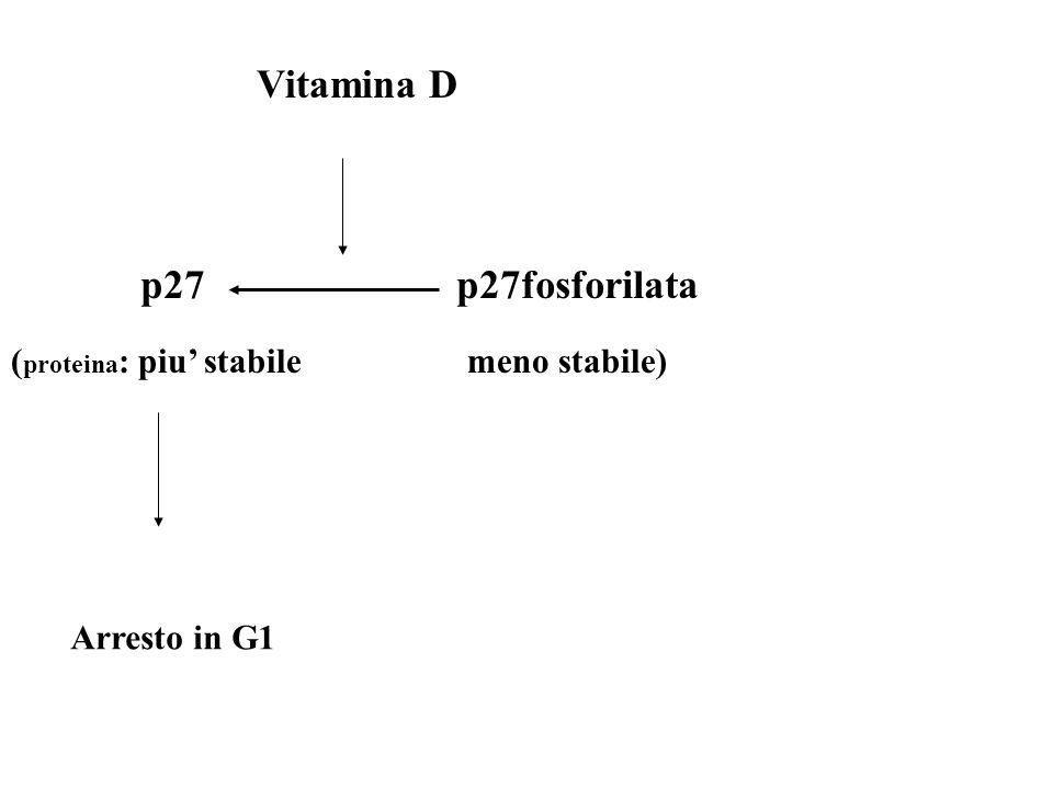 Vitamina D p27p27fosforilata ( proteina : piu stabile meno stabile) Arresto in G1