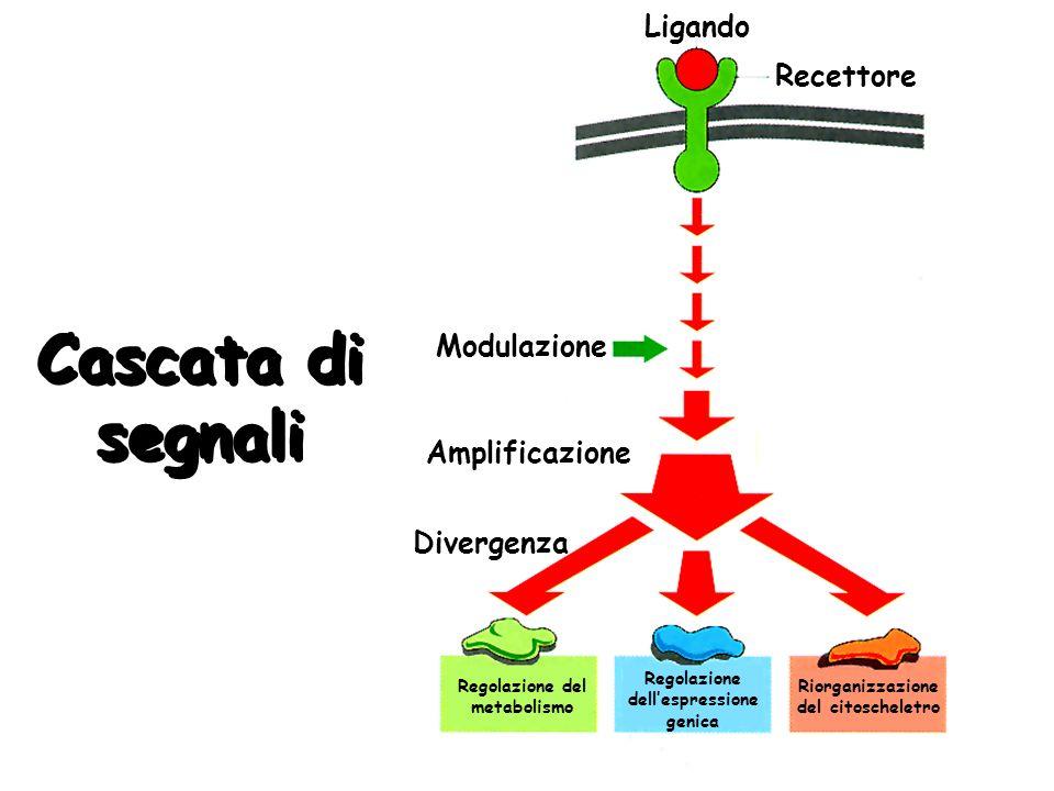 Cascata di segnali Ligando Recettore Regolazione del metabolismo Modulazione Regolazione dellespressione genica Riorganizzazione del citoscheletro Amp