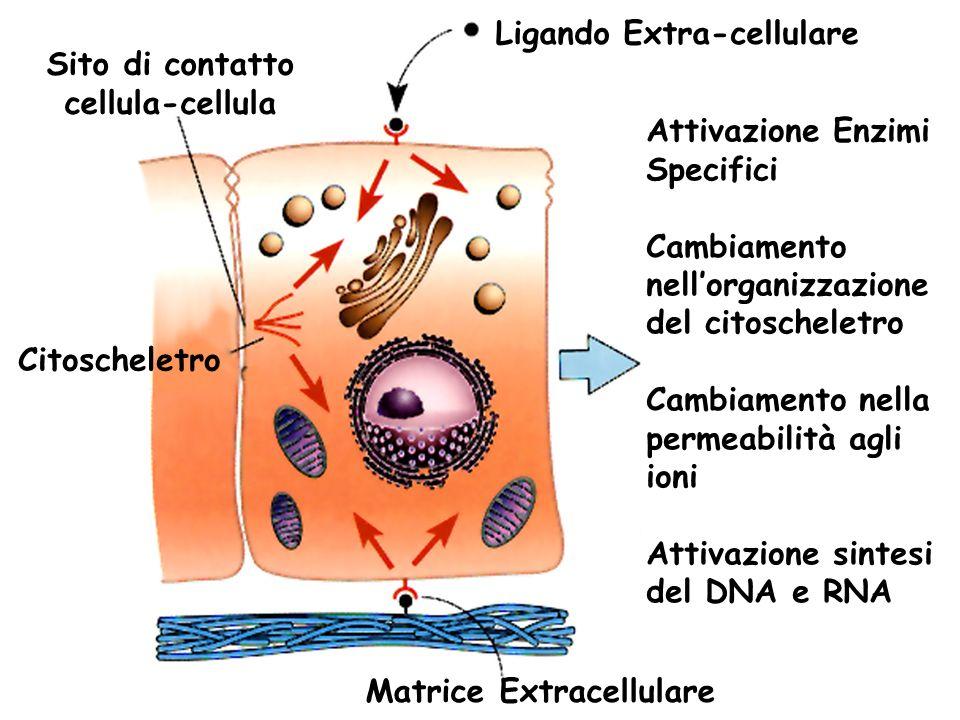 Sito di contatto cellula-cellula Citoscheletro Ligando Extra-cellulare Attivazione Enzimi Specifici Cambiamento nellorganizzazione del citoscheletro C