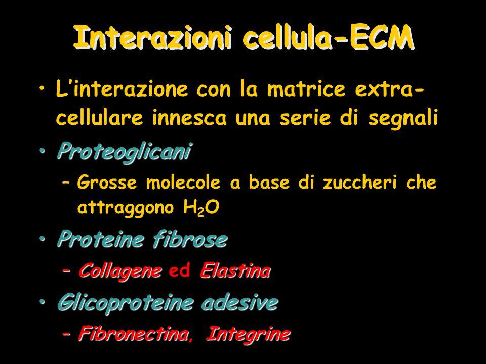 Interazioni cellula-ECM Linterazione con la matrice extra- cellulare innesca una serie di segnali ProteoglicaniProteoglicani –Grosse molecole a base d