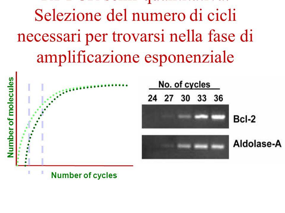 RT-PCR semi-quantitativa: Selezione del numero di cicli necessari per trovarsi nella fase di amplificazione esponenziale Number of molecules Number of
