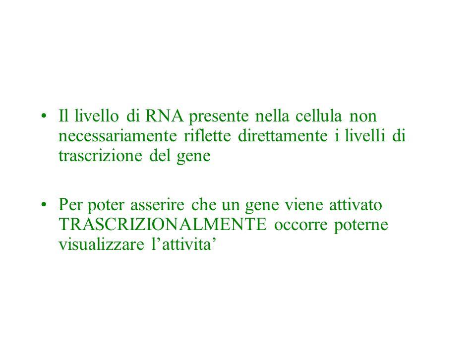 Il livello di RNA presente nella cellula non necessariamente riflette direttamente i livelli di trascrizione del gene Per poter asserire che un gene v