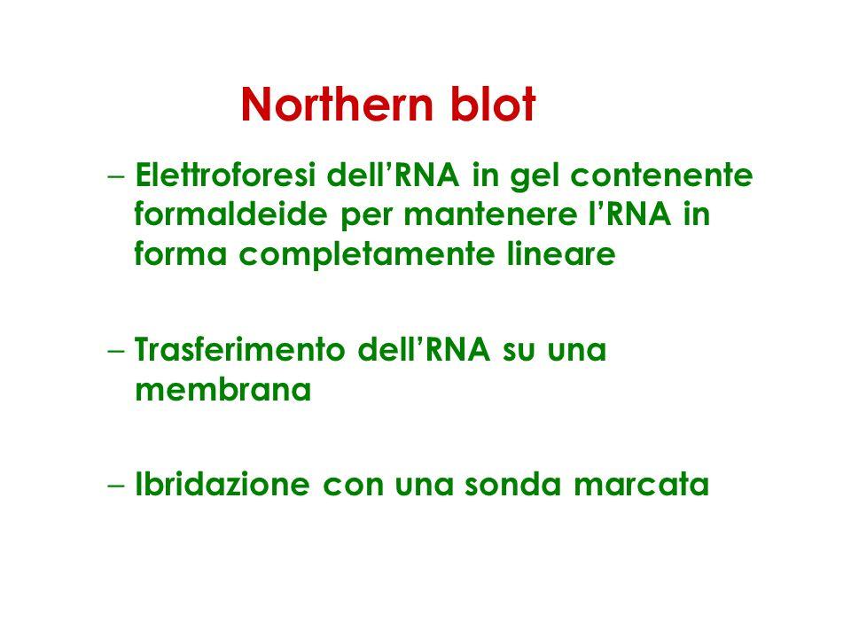 Northern blot – Elettroforesi dellRNA in gel contenente formaldeide per mantenere lRNA in forma completamente lineare – Trasferimento dellRNA su una m