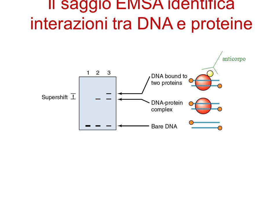 Il saggio EMSA identifica interazioni tra DNA e proteine anticorpo