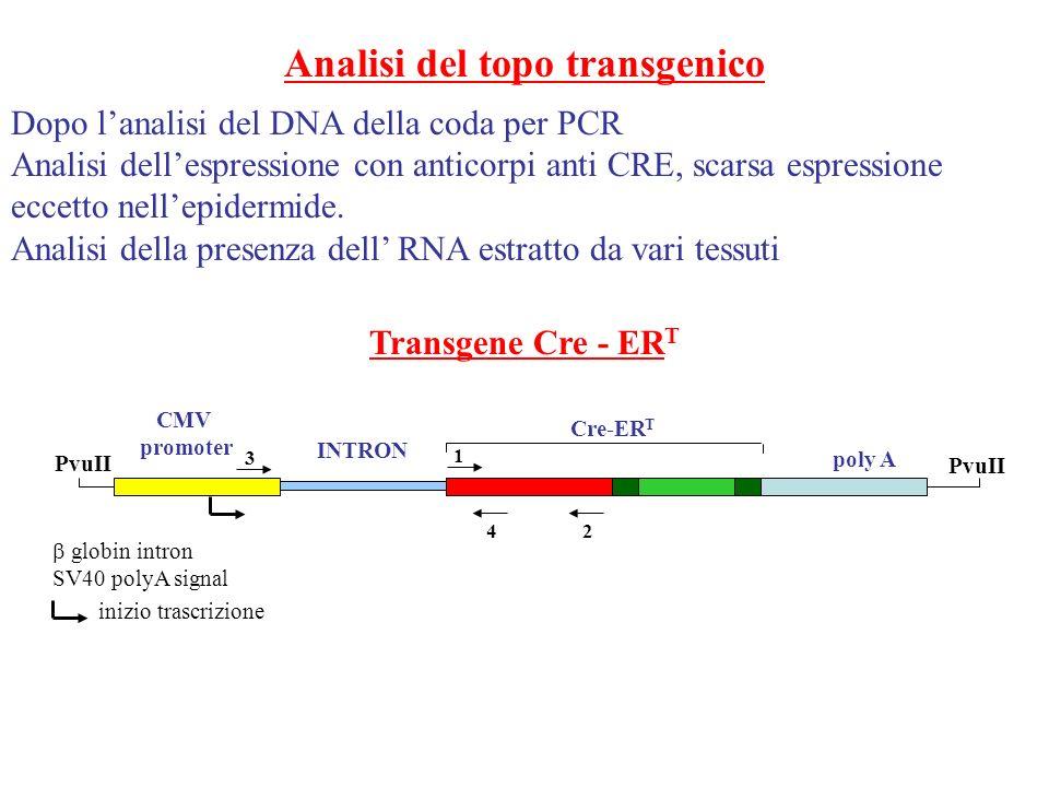 Analisi del topo transgenico Dopo lanalisi del DNA della coda per PCR Analisi dellespressione con anticorpi anti CRE, scarsa espressione eccetto nelle