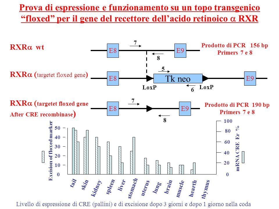 Prova di espressione e funzionamento su un topo transgenico floxed per il gene del recettore dellacido retinoico RXR RXR wt RXR targetet floxed gene )