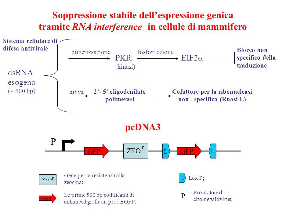 fosforilazione PKR (kinasi) EIF2 dimerizzazione Blocco non specifico della traduzione 2- 5 oligodenilato polimerasi Cofattore per la ribonucleasi non