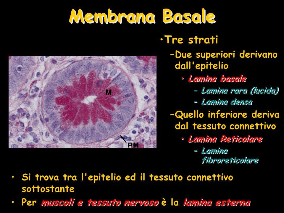 Componenti della Membrana Basale Membrana Basale Visibile al microscopio ottico Lamina Reticolare Collagene di tipo II (Fibre Reticolari) Lamina Basale Lamina rara Lamina densa Cellula Epiteliale Nucleo