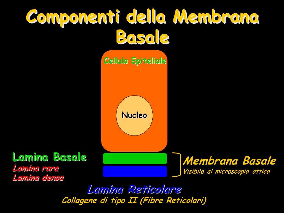 Componenti della Membrana Basale Membrana Basale Visibile al microscopio ottico Lamina Reticolare Collagene di tipo II (Fibre Reticolari) Lamina Basal