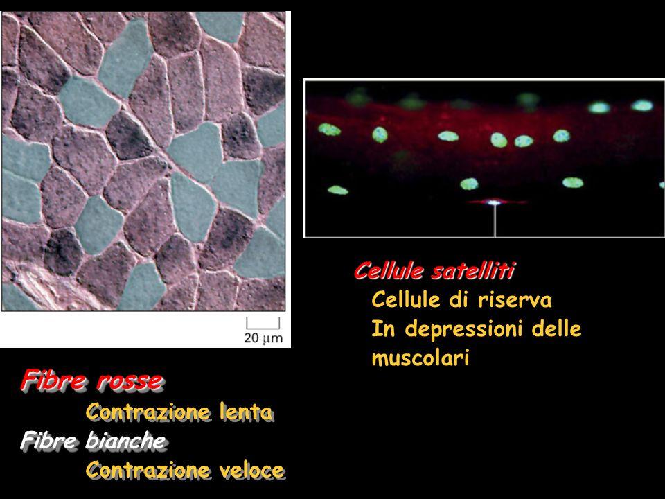 Fibre rosse Contrazione lenta Fibre bianche Contrazione veloce Fibre rosse Contrazione lenta Fibre bianche Contrazione veloce Cellule satelliti Cellule di riserva In depressioni delle muscolari