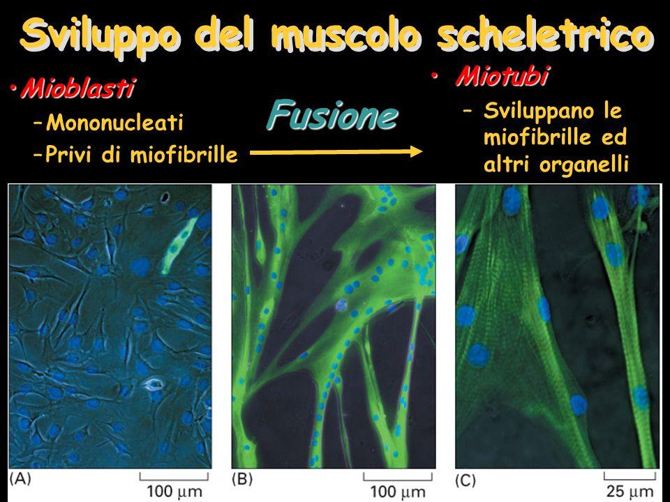 Sviluppo del muscolo scheletrico MioblastiMioblasti –Mononucleati –Privi di miofibrille MiotubiMiotubi –Sviluppano le miofibrille ed altri organelliFusione