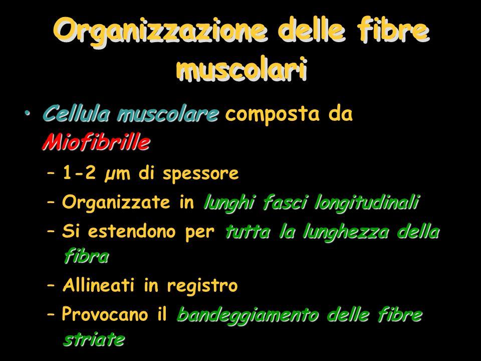 Organizzazione delle fibre muscolari Cellula muscolare MiofibrilleCellula muscolare composta da Miofibrille –1-2 µm di spessore lunghi fasci longitudi