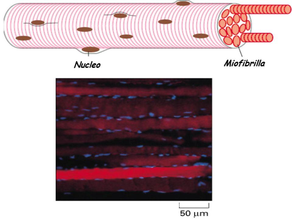 Miofibrilla Nucleo