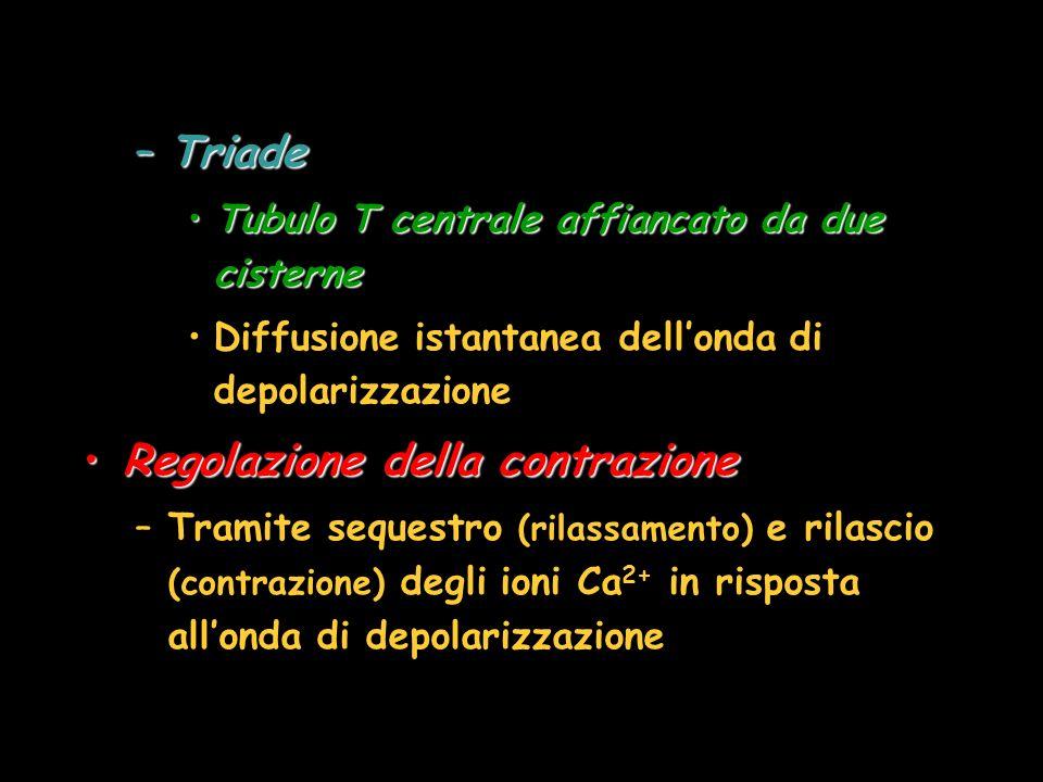 –Triade Tubulo T centrale affiancato da due cisterneTubulo T centrale affiancato da due cisterne Diffusione istantanea dellonda di depolarizzazione Regolazione della contrazioneRegolazione della contrazione –Tramite sequestro (rilassamento) e rilascio (contrazione) degli ioni Ca 2+ in risposta allonda di depolarizzazione