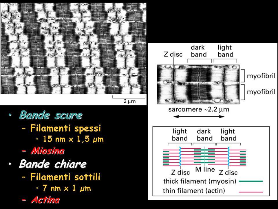Bande scureBande scure –Filamenti spessi 15 nm x 1,5 µm –Miosina Bande chiareBande chiare –Filamenti sottili 7 nm x 1 µm –Actina