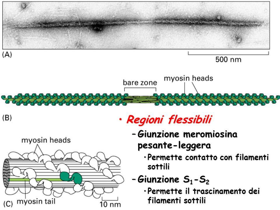 Regioni flessibiliRegioni flessibili –Giunzione meromiosina pesante-leggera Permette contatto con filamenti sottiliPermette contatto con filamenti sottili –Giunzione S 1 -S 2 Permette il trascinamento dei filamenti sottiliPermette il trascinamento dei filamenti sottili