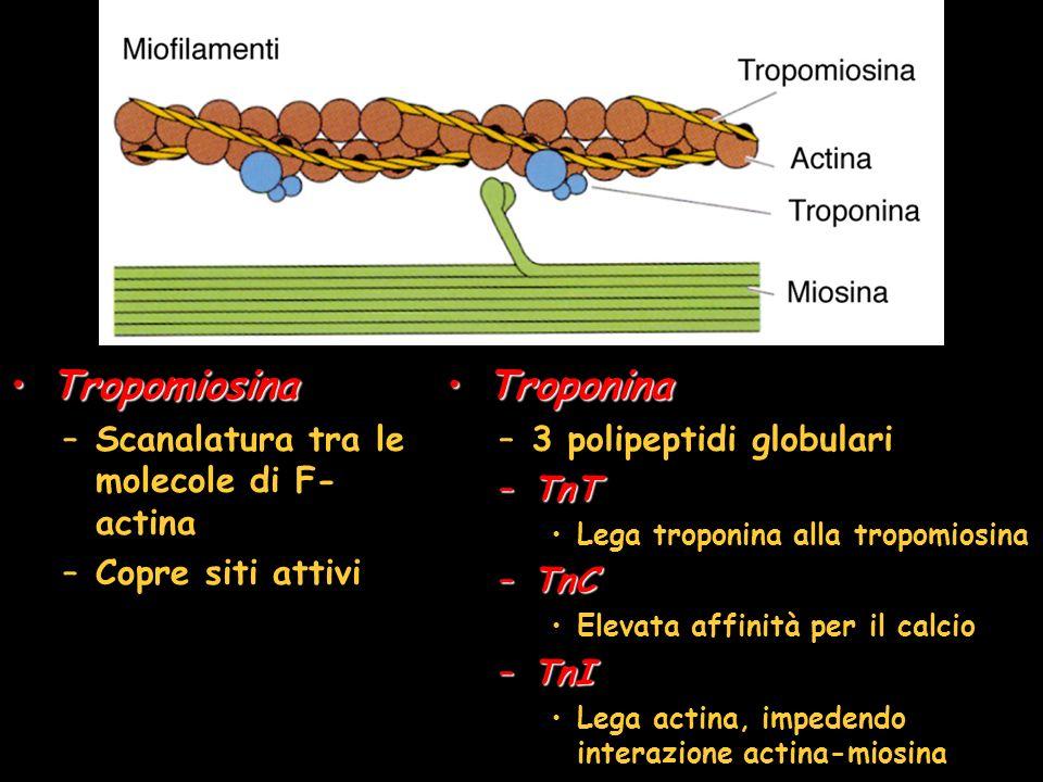 TropomiosinaTropomiosina –Scanalatura tra le molecole di F- actina –Copre siti attivi TroponinaTroponina –3 polipeptidi globulari –TnT Lega troponina alla tropomiosina –TnC Elevata affinità per il calcio –TnI Lega actina, impedendo interazione actina-miosina