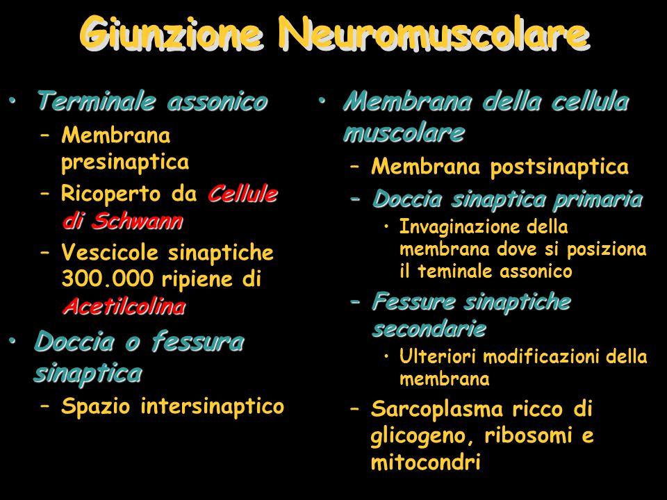 Giunzione Neuromuscolare Terminale assonicoTerminale assonico –Membrana presinaptica Cellule di Schwann –Ricoperto da Cellule di Schwann Acetilcolina