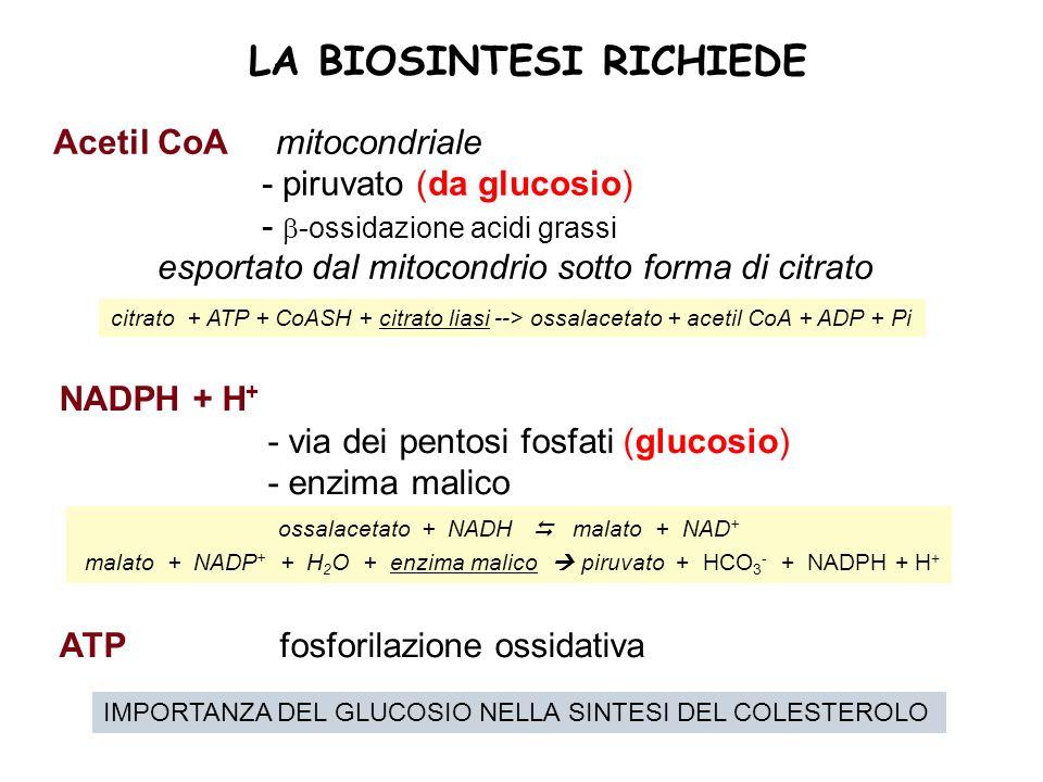 LA BIOSINTESI RICHIEDE Acetil CoA mitocondriale - piruvato (da glucosio) - -ossidazione acidi grassi esportato dal mitocondrio sotto forma di citrato