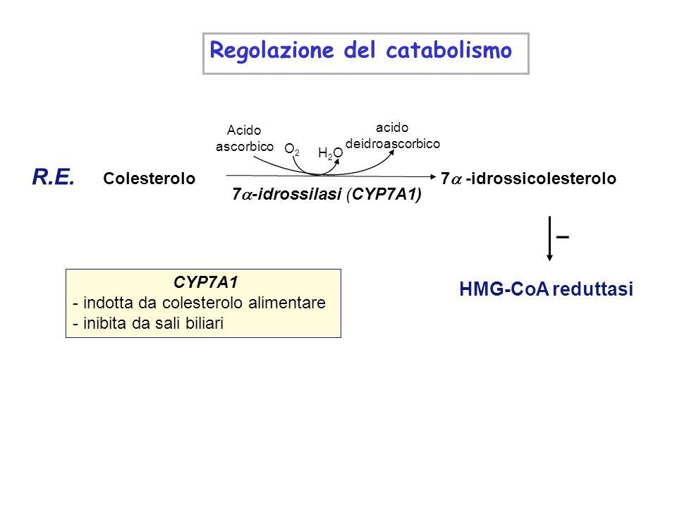 Regolazione del catabolismo : CYP7A1 - indotta da colesterolo alimentare - inibita da sali biliari HMG-CoA reduttasi – Acido ascorbico acido deidroasc
