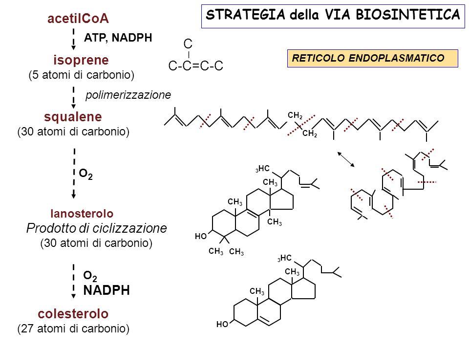 acetilCoA isoprene (5 atomi di carbonio) squalene (30 atomi di carbonio) Prodotto di ciclizzazione (30 atomi di carbonio) colesterolo (27 atomi di car