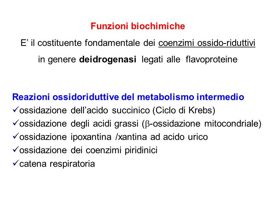 Funzioni biochimiche E il costituente fondamentale dei coenzimi ossido-riduttivi in genere deidrogenasi legati alle flavoproteine Reazioni ossidoridut