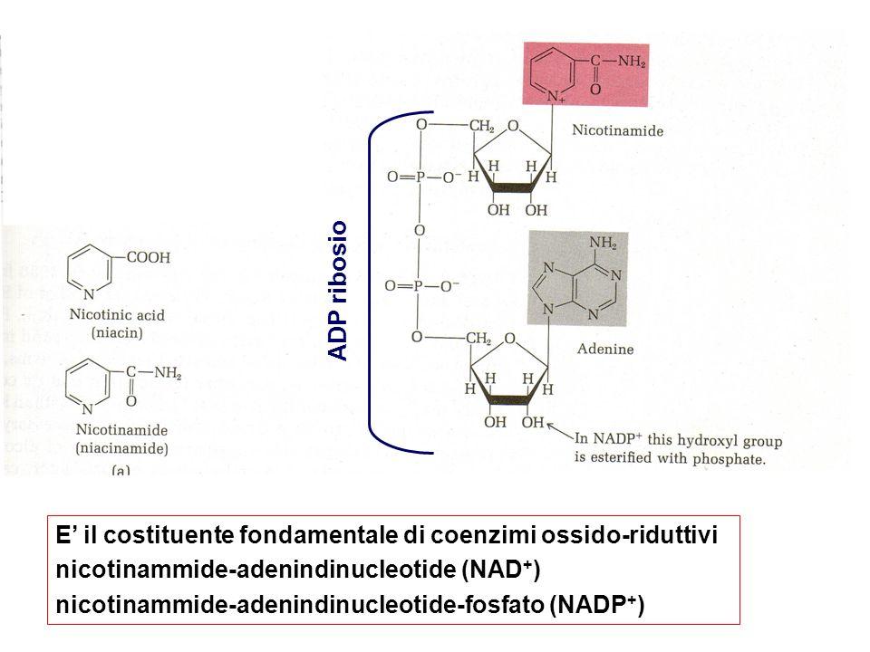 STRUTTURA E il costituente fondamentale di coenzimi ossido-riduttivi nicotinammide-adenindinucleotide (NAD + ) nicotinammide-adenindinucleotide-fosfat
