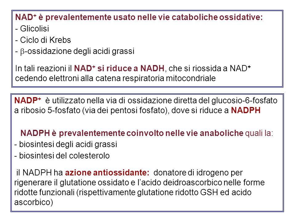 NADP + è utilizzato nella via di ossidazione diretta del glucosio-6-fosfato a ribosio 5-fosfato (via dei pentosi fosfato), dove si riduce a NADPH NADP
