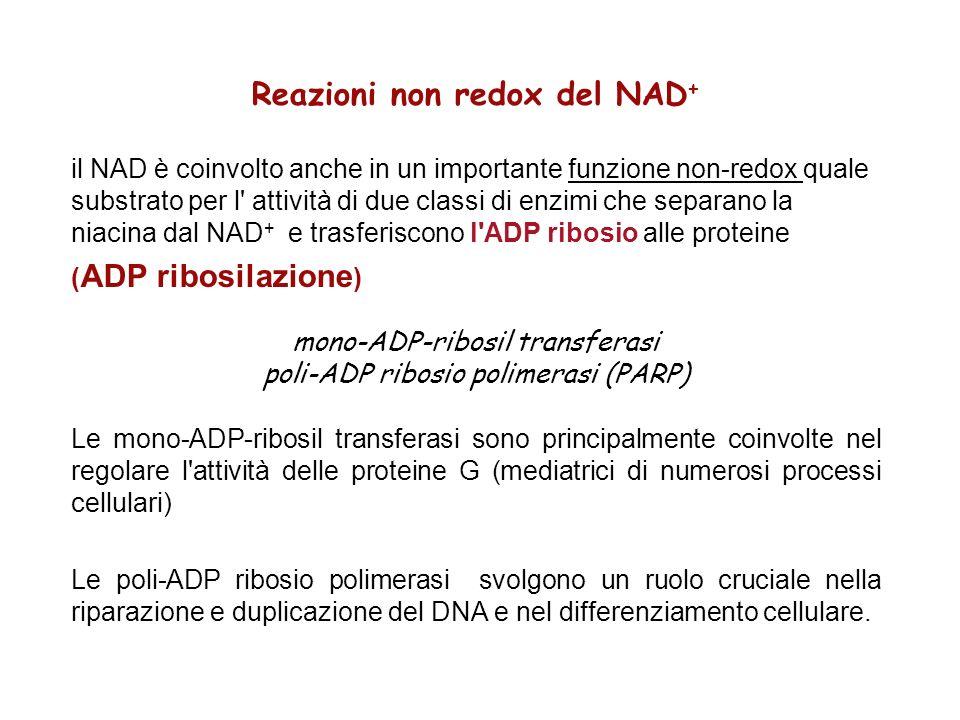 Reazioni non redox del NAD + il NAD è coinvolto anche in un importante funzione non-redox quale substrato per l' attività di due classi di enzimi che