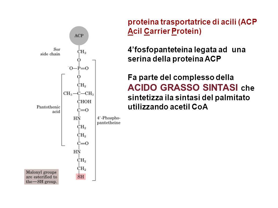 proteina trasportatrice di acili (ACP Acil Carrier Protein) 4fosfopanteteina legata ad una serina della proteina ACP Fa parte del complesso della ACID