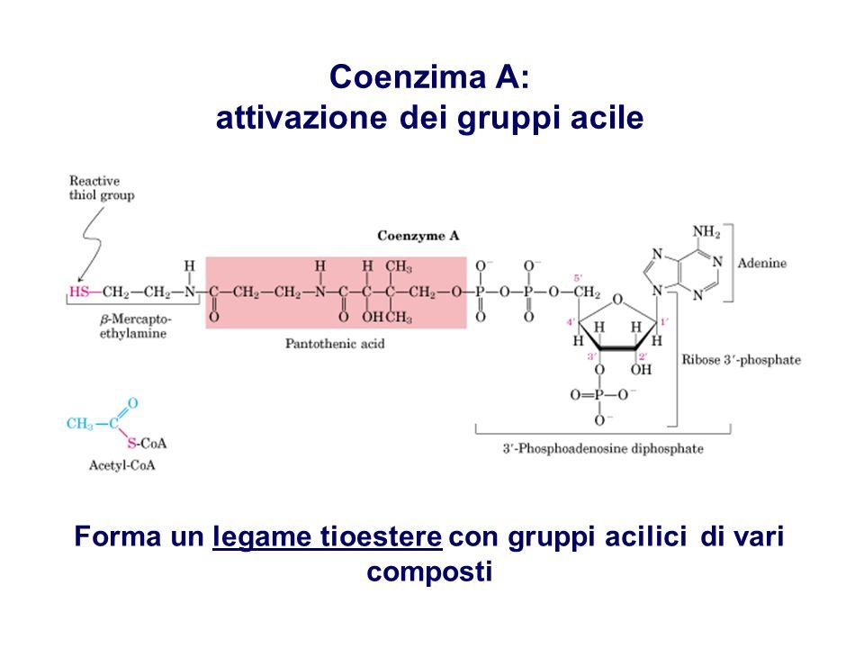Forma un legame tioestere con gruppi acilici di vari composti Coenzima A: attivazione dei gruppi acile