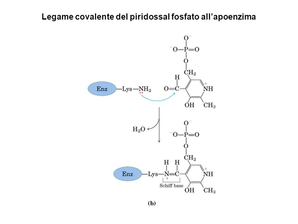 Legame covalente del piridossal fosfato allapoenzima