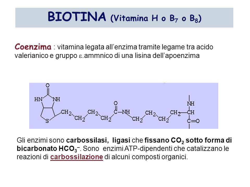 BIOTINA (Vitamina H o B 7 o B 8 ) Coenzima : vitamina legata allenzima tramite legame tra acido valerianico e gruppo.ammnico di una lisina dellapoenzi