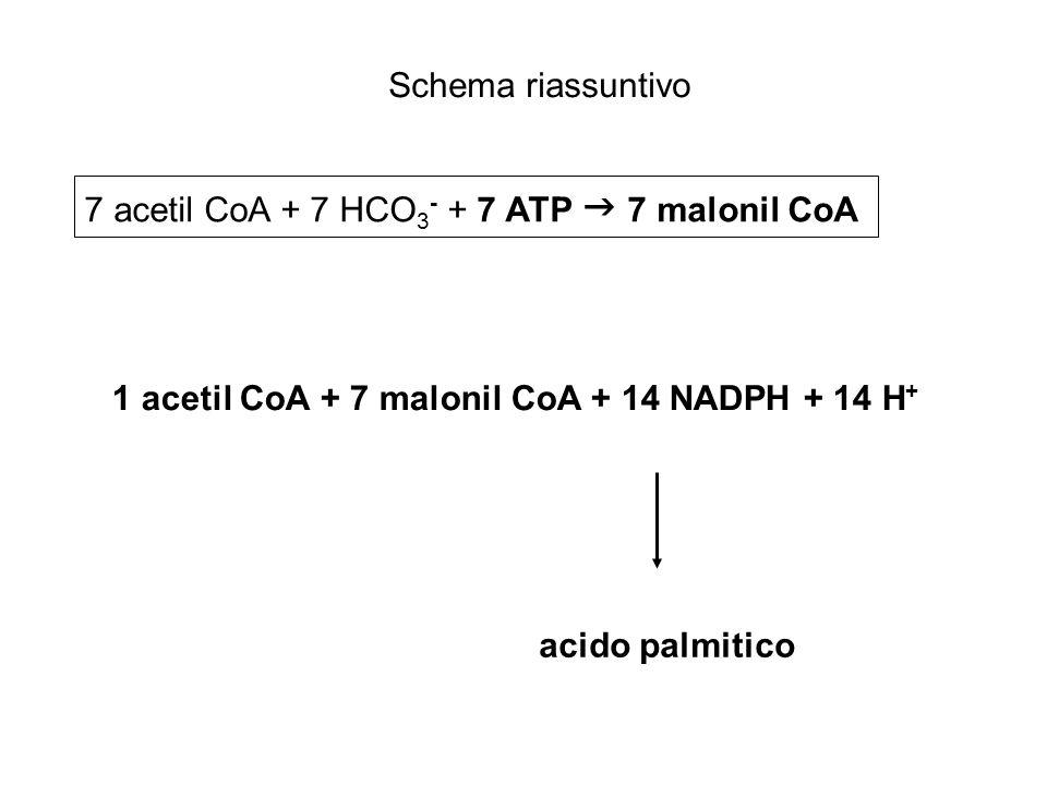 1 acetil CoA + 7 malonil CoA + 14 NADPH + 14 H + 7 acetil CoA + 7 HCO 3 - + 7 ATP 7 malonil CoA acido palmitico Schema riassuntivo