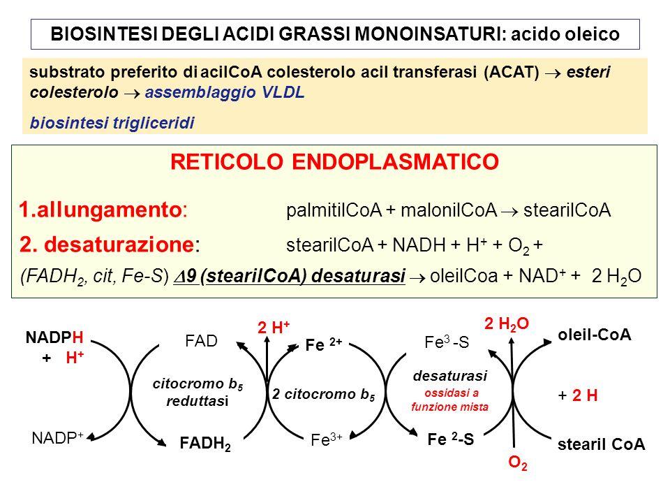 BIOSINTESI DEGLI ACIDI GRASSI MONOINSATURI: acido oleico RETICOLO ENDOPLASMATICO 1.allungamento: palmitilCoA + malonilCoA stearilCoA 2.